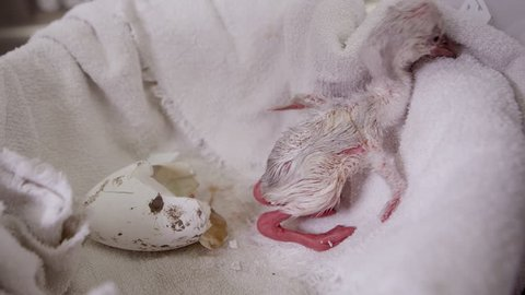 View of baby flamingo chick next to egg it just hatched from in captivity.