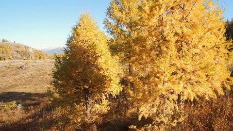 Walk through a yellow larch grove in autumn season on the mountain Altai Eshtykel plateau, Siberia, Russia
