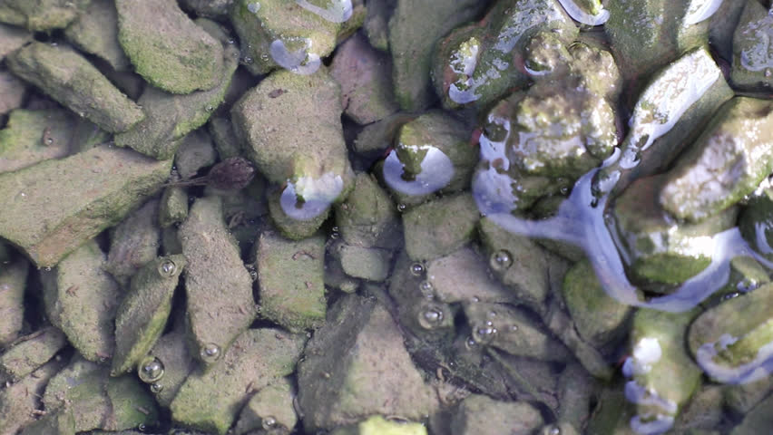 Tadpole rests on green algae covered small stones in the water and suddenly swims. The water is filled with tadpoles feces and algae.