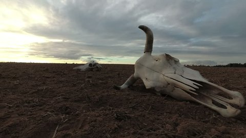 Cow skull on dry autumn agriculture field and rain clouds, time lapse