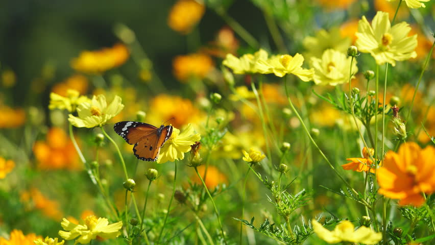 4K Butterfly on yellow flower  | Shutterstock HD Video #1017352153
