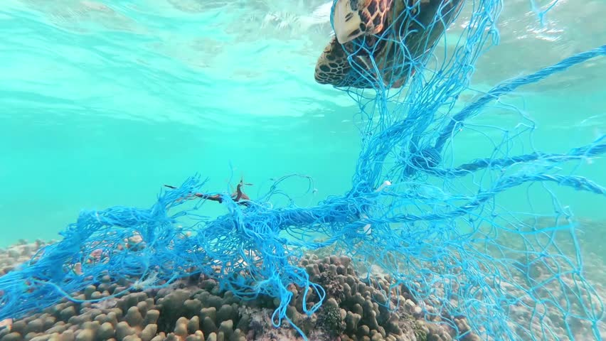 Green sea turtle entangled in a discarded fishing net.