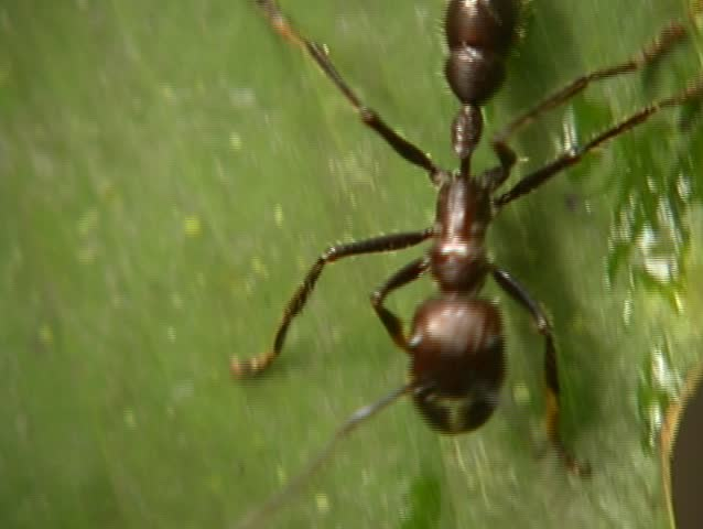 Header of Paraponera clavata