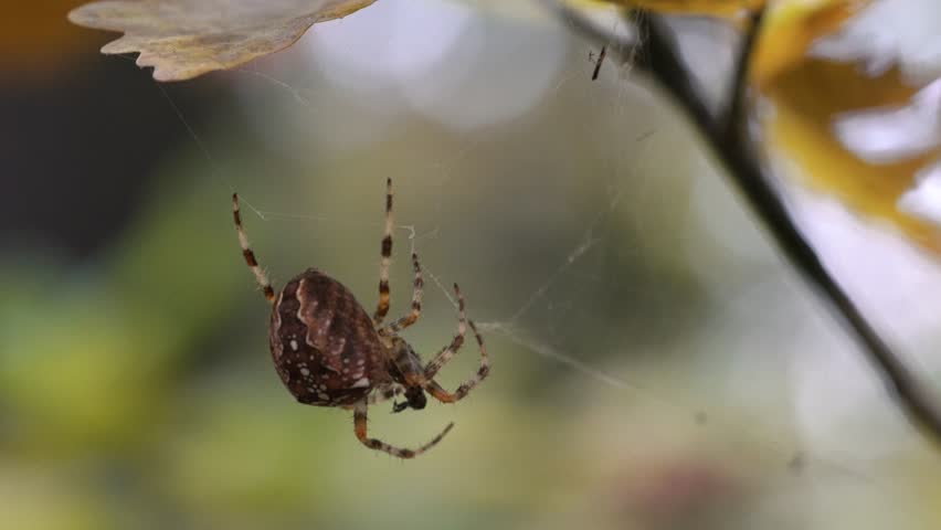 Spider carries his victim