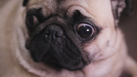 Portrait of a surprised, troubled dog pug, close-up