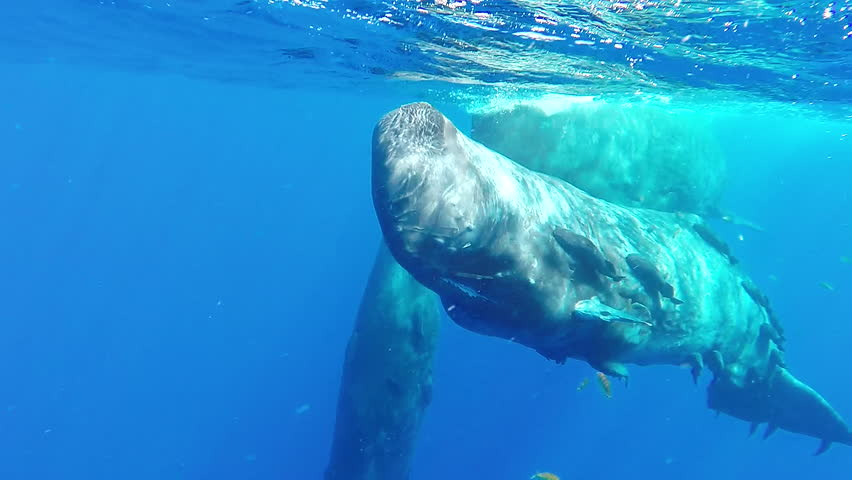 Pod of sperm whales socializing at the surface, Indian Ocean, Mauritius.