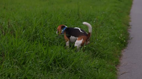 Beagle dog poops on the grass and its owner collects dogs feces in a plastic bag.