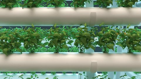 Hydroponics method of growing plants using mineral nutrient solutions in water, without soil. Rows of mature basil plants grown in hydroponics pipes with LED light indoor farm. Hydro agriculture.