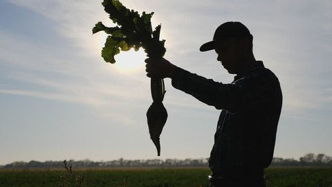 Silhouette of a man agronomist holding a root vegetable of sugar beet the field