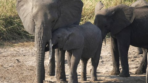 a baby elephant moves in close to its mother at tarangire national park in tanzania