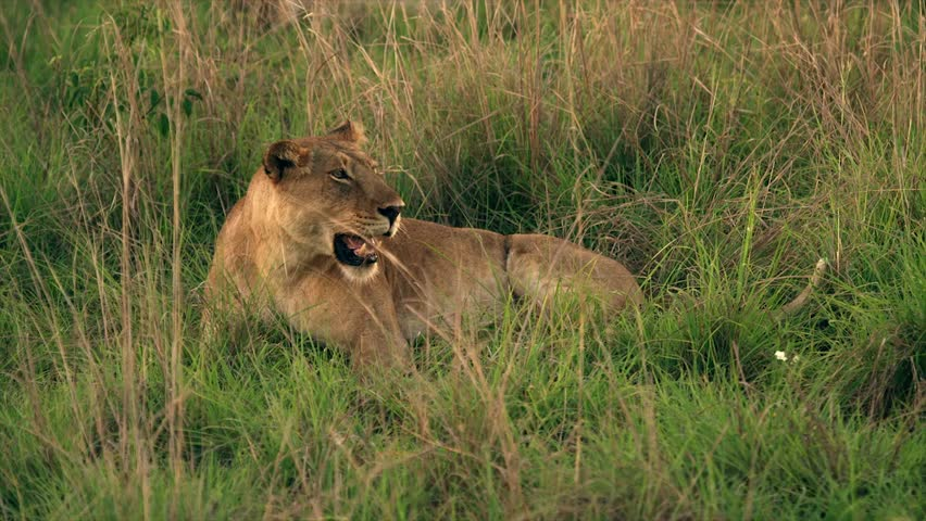 Medium and wide-angle shot of lioness and cubs in Uganda, Africa | Shutterstock HD Video #1018164493