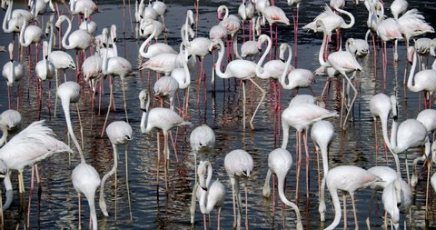 Flamingos at Ras Al Khor Wildlife Sanctuary Dubai, United Arab Emirates
