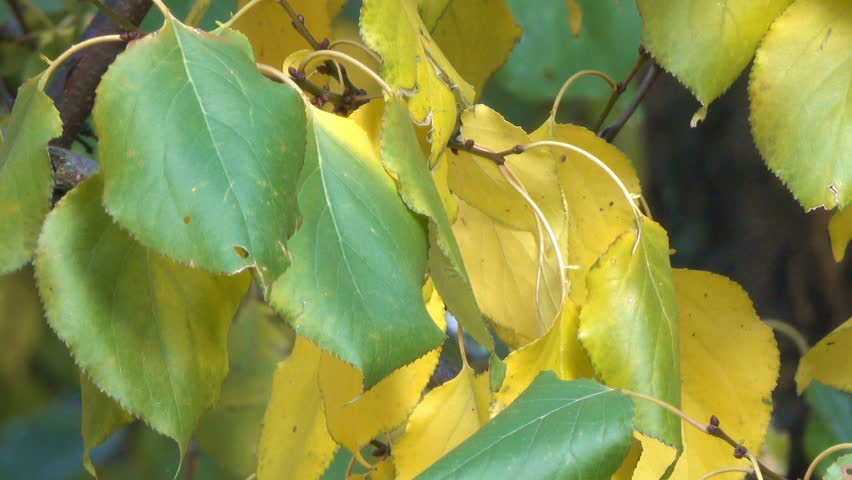 Autumn yellow leaves on the branches of a tree close-up urban video sketching clip saver transition with the effect of zooming and moving the camera | Shutterstock HD Video #1018351273