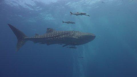 Whale shark (Rhincodon typus) with a damaged dorsal fin