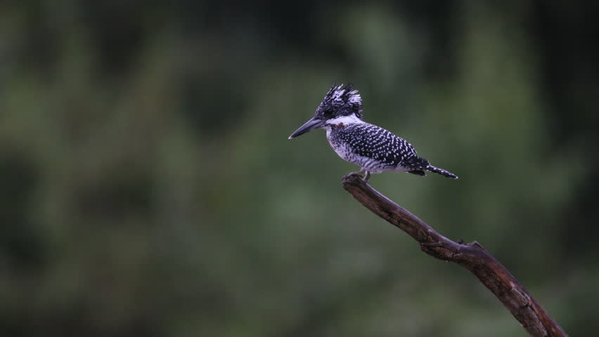 Adult male Crested kingfisher (Megaceryle lugubris), uprisen angle view, in falling rain flying and resting on the branch in Mueang Klong, Chiang Dao Wildlife Sanctuary, Chiang Mai, north of Thailand. #1018514713