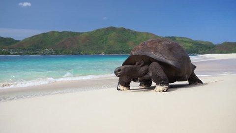 Scenic shot of Aldabra Giant tortoise walking slowly on white beach sand leaving tracks(prints) with turquoise waves crashing over. Slow motion 50p