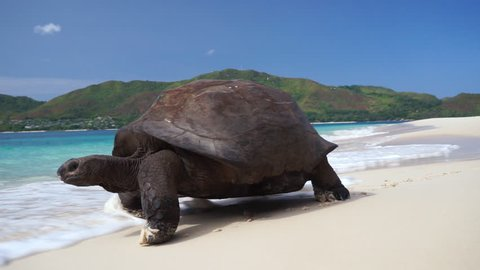 Scenic shot of Aldabra Giant tortoise walking slowly on white beach sand leaving tracks(prints) with turquoise waves crashing over. Slow motion 50p
