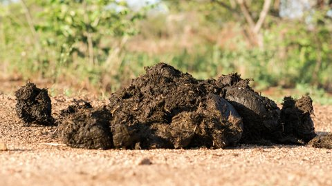 A long timelapse of a fresh Rhino dung pile/heap being decomposed by insects and detrivores including butterflies and dung beetles rolling balls, South Africa.