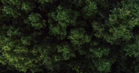 AERIAL TOP DOWN: Dense deciduous mixed evening fresh green forest of central Europe at summer cloudy day - Aerial View