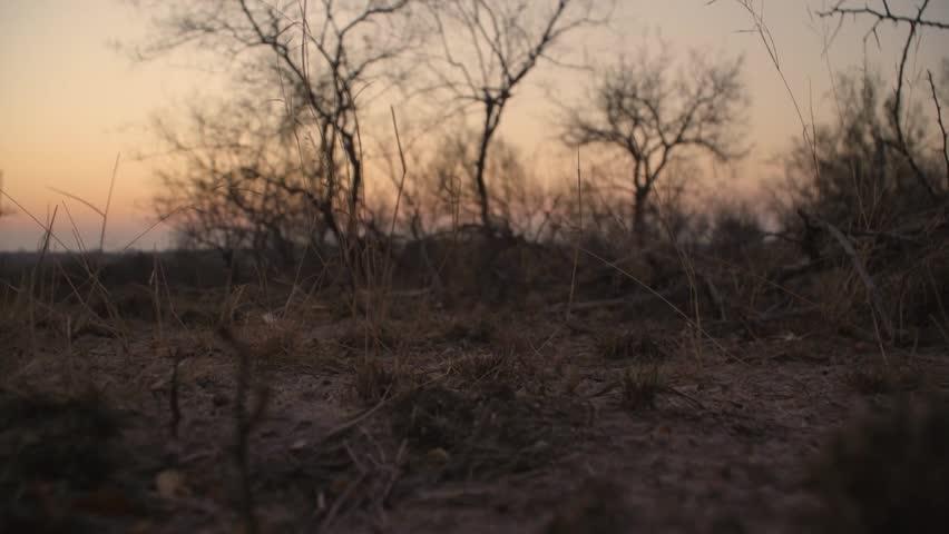 Ground pangolin walking past camera sunset