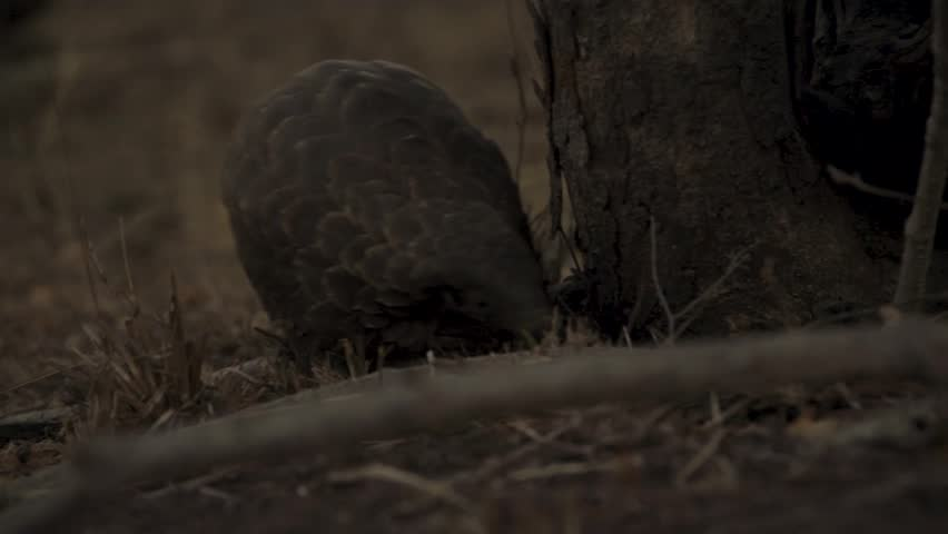 Ground pangolin searching for ants