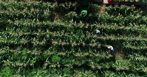 High aerial camera looking straight down anding as three farmers pick corn in a cornfield.