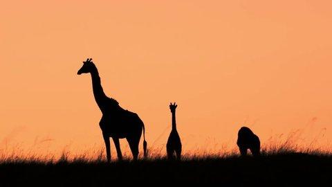 Mom and baby Giraffes silhouette shot at sunrise, Maasai Mara