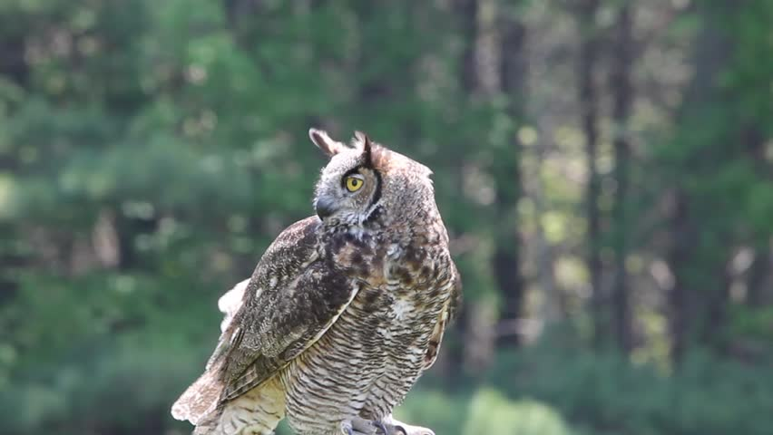 Great Horned Owl Perched bobbing its head and looking around