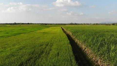 Aerial view sugar cane field and rice field, Phu Khiao, Chaiyaphum, Thailand