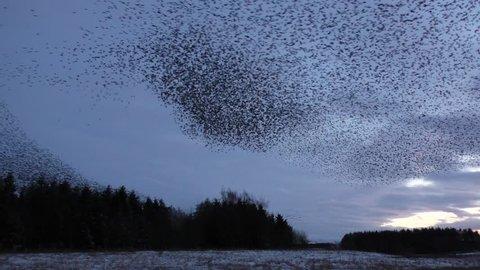 Starling murmurations at Tarn sike nature reserve Cumbria UK