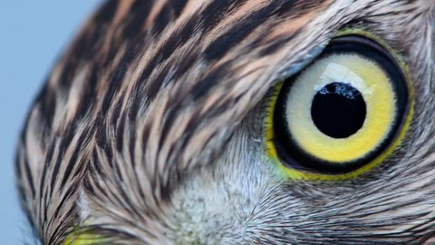 Eagle eye close-up, macro, eye of young Goshawk (Accipiter gentilis)