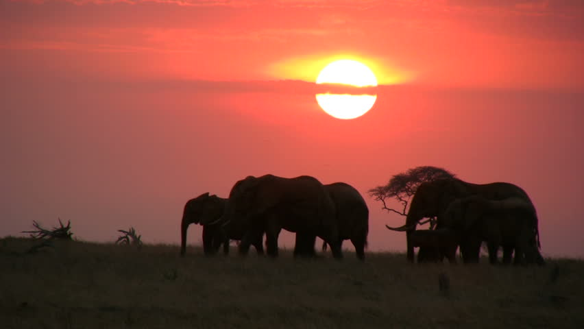 Elephants moving across the camera with the sunrise in the background  | Shutterstock HD Video #1019473993