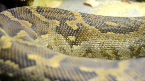 Indian rock python - Python molurus skin closeup