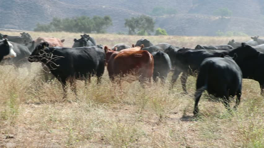 Herd of black Angus cattle turning and running away from the camera