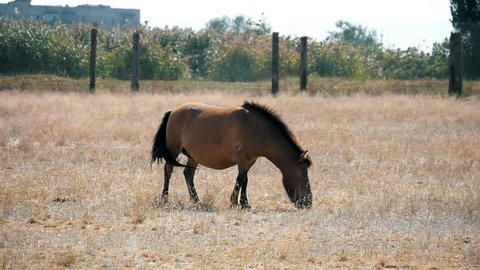 Impressive view of a Mongolian horse eating straw in horizonless Taurid steppes in Askania-Nova, a famous bio-reserve, in Ukraine in summer