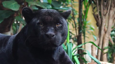 Black Panther Looking On Rock, Rare Critically Endangered Jaguar 4K.