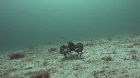Atlantic Claw Lobster