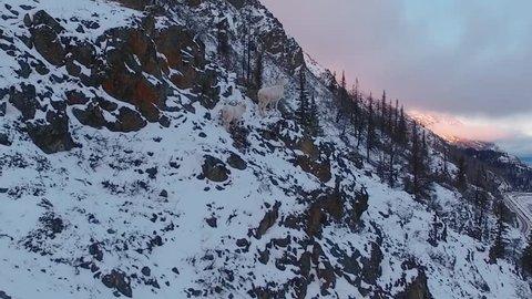 Dall Sheep running through snowy mountain in Alaska