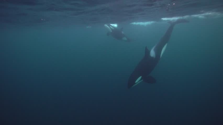 Orcas hunting for herrings in the fjords of northern norway | Shutterstock HD Video #1020441163