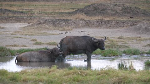 Cape Buffalo, two large cape buffaloes in the swamp. Serengeti, Tanzania, Africa, 4 K, 59,94 fps