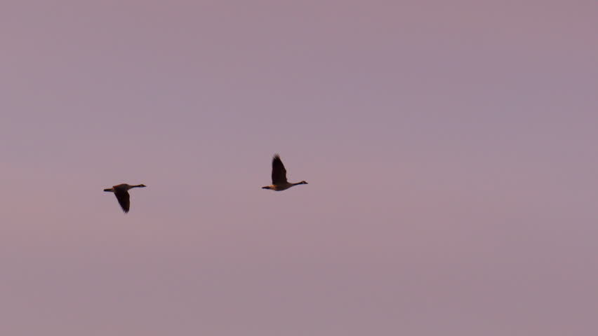 Pair of Canada Geese flying in formation at sunset with mountains in background