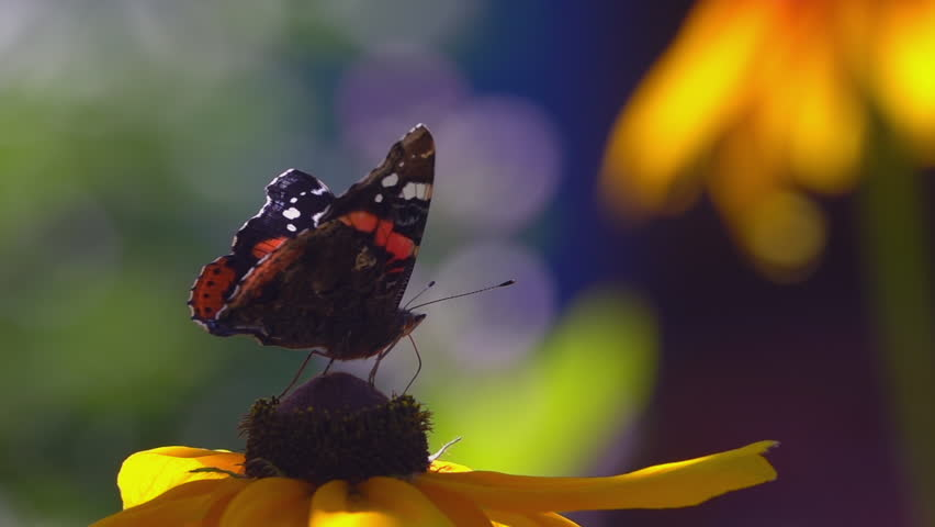 Close up shot of monarch butterfly sitting on yellow rudbeckia flower, drinking fresh nectar and then flying away. Beautiful slow motion video clip of colorful nature.