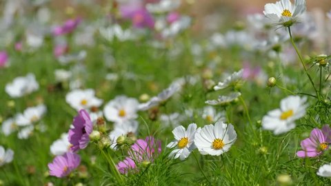 Cosmos flowers field blooming in spring season. Royalty high-quality free stock video footage of beautiful garden with white cosmos flower and pink cosmos flower in sunny day and swaying in wind