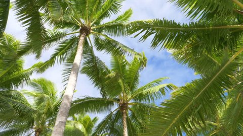 BOTTOM UP: Vivid palm tree canopies stretch out into the clear blue skies in breathtaking Cook Islands. Idyllic view of palm treetops rustling in the breeze on a perfect sunny day on tropical beach.