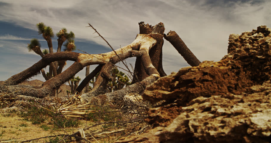 A Long Dead and Fallen Joshua Tree in Joshua Tree National Park.  Time Lapse
