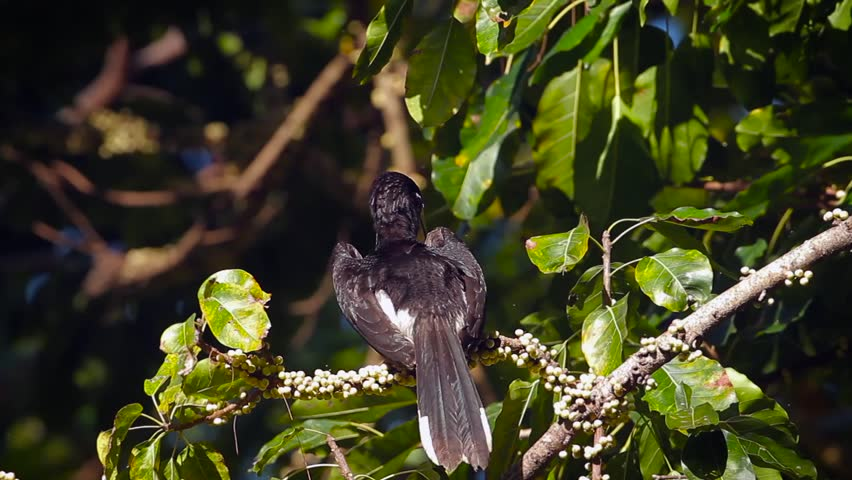 Oriental pied hornbill in Koh Tarutao national park, Thailand -  specie Anthracoceros albirostris family of Bucerotidae  #1020949333
