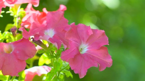 Pink salmon petunia flower. Pink petunias swaying in the breeze. Pink petunia garden flowers closeup being blown in the wind with a green foliage. Pink petunia flawer garden. flower shop