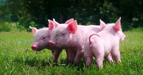 Group of newborn cute piglets on a green grass lawn. Concept of bio, animal health , friendship , love for nature . vegan and vegetarian style.