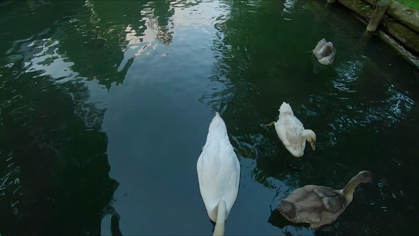 A family of swans feed on the lake in a park and then swim away.   Shutterstock HD Video #1021176193