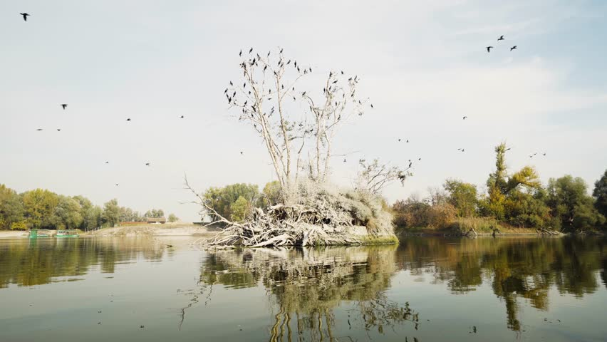 Great cormorant flock flying and resting in tree at Kopacki Rit nature reserve, Osijek Baranja County. Croatia